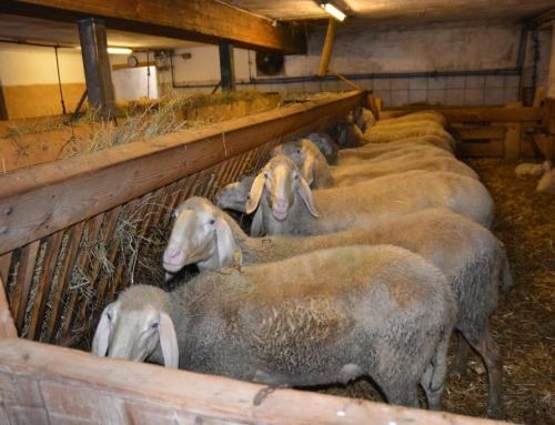 """Erste Veranstaltungen der Informationskampagne """"Schafe und Ziegen"""""""