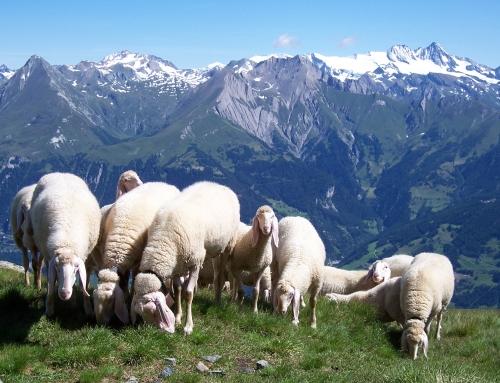 Tiroler Bergschaf beeinflusst Gemeindepolitik ;)