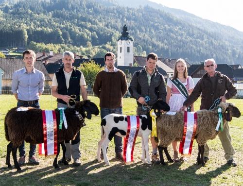 Ergebnis Bundeskilbernschau Braunes Bergschaf in Öblarn