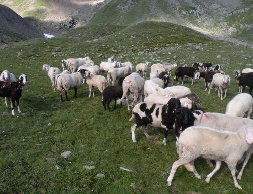 Suche noch Schafe für Alm in Obergurgl