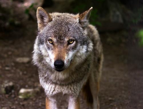 Wolfsproblematik in Tirol