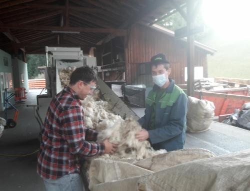 Frühjahrswollübernahmen in Imst, Rotholz und Axams