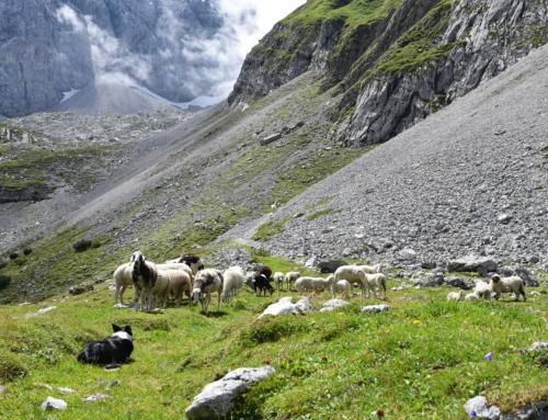 Almplatz für Schafe in Untergurgl noch frei!