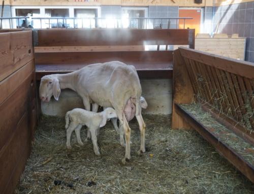 Optimale Stallbeleuchtung im Schaf- und Ziegenstall